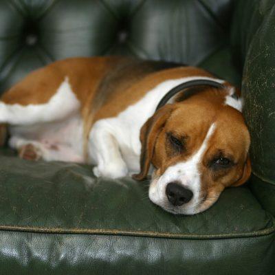 Beagle auf grünem Ledersofa